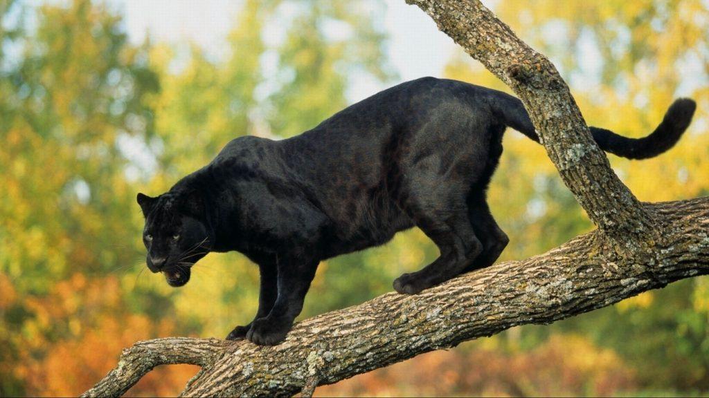 Красивые обои на рабочий стол Пантера - необычные фото животного 13