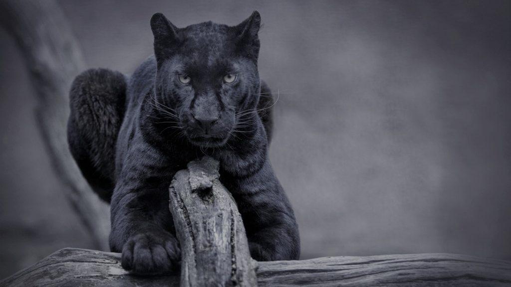 Красивые обои на рабочий стол Пантера - необычные фото животного 16