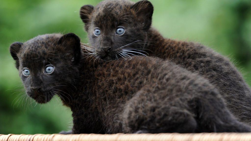Красивые обои на рабочий стол Пантера - необычные фото животного 4