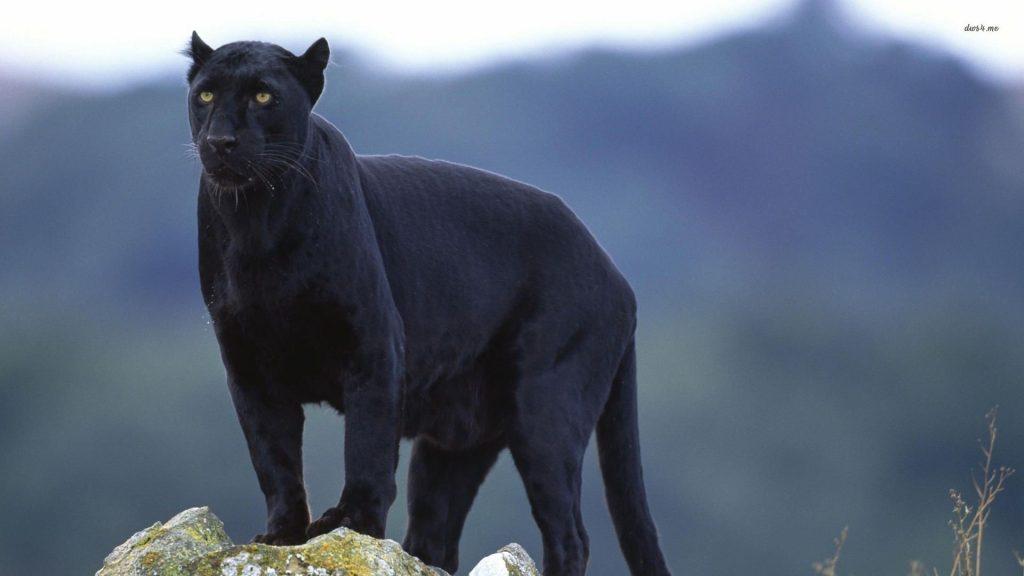 Красивые обои на рабочий стол Пантера - необычные фото животного 8