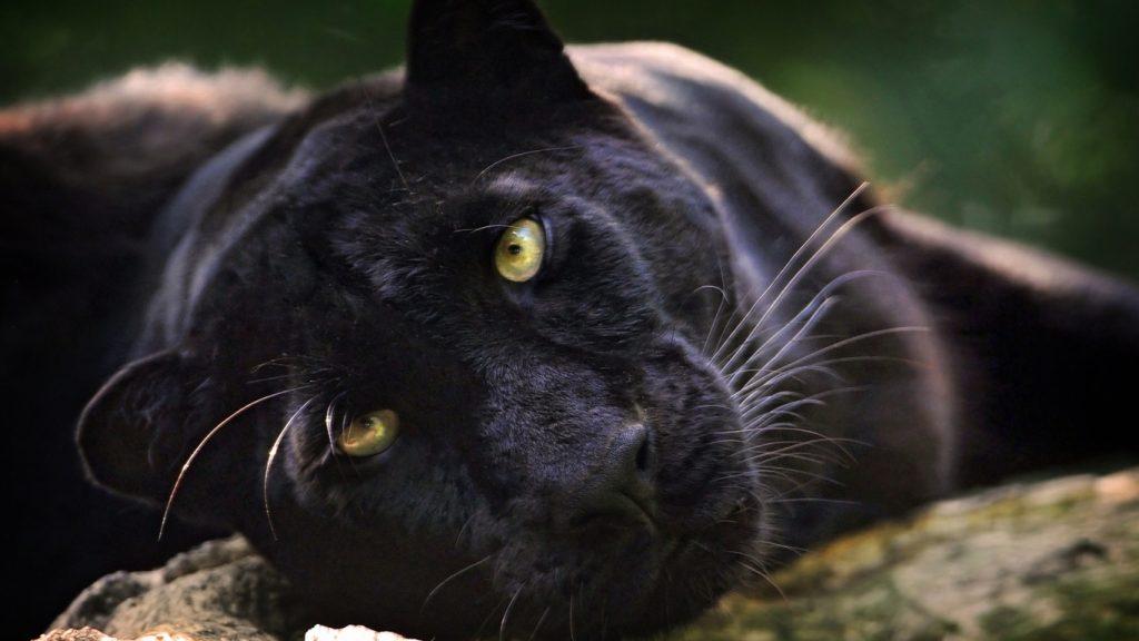 Красивые обои на рабочий стол Пантера - необычные фото животного 9