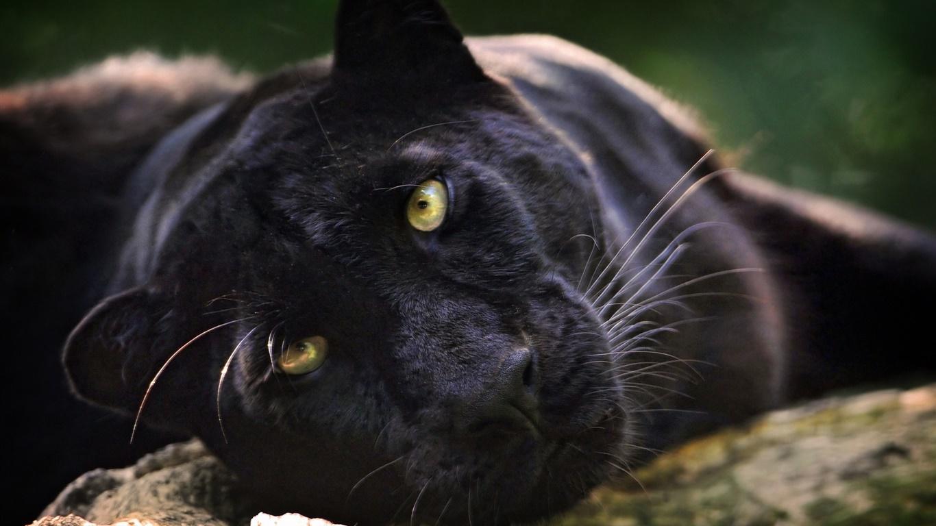 Красивые картинки пантеры, спасибо тебе что