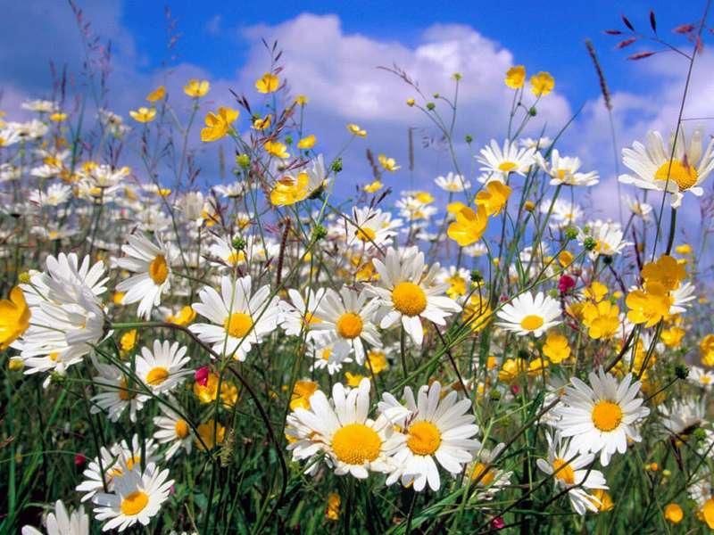 Красивые полевые цветы - удивительные картинки и фотографии 1