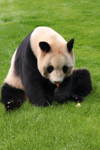 Прикольные и необычные картинки Панда на заставку телефона 1