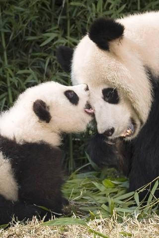 Прикольные и необычные картинки Панда на заставку телефона 3