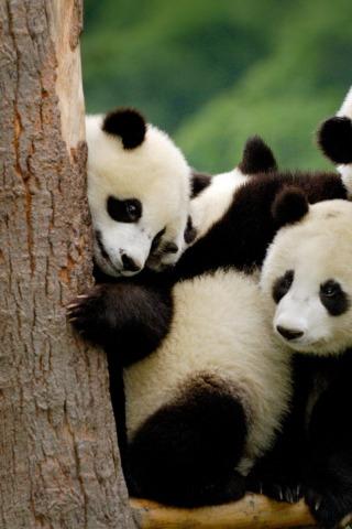 Прикольные и необычные картинки Панда на заставку телефона 6