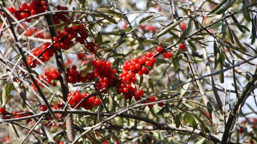 Что такое ягода буйвола Шефердия серебристая - полезные свойства 1