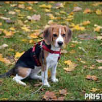 Бигль – охотничья порода собак характер, воспитание и кормление 2