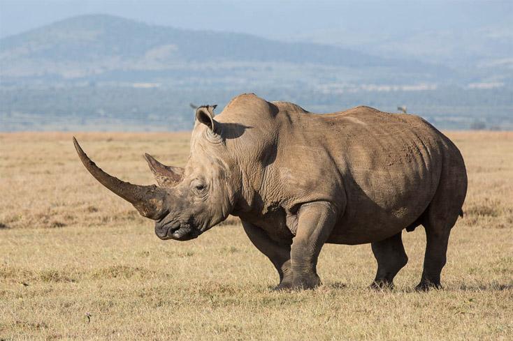 Красивые и прикольные картинки белого носорога - подборка 11