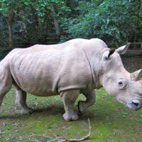 Красивые и прикольные картинки белого носорога - подборка 14