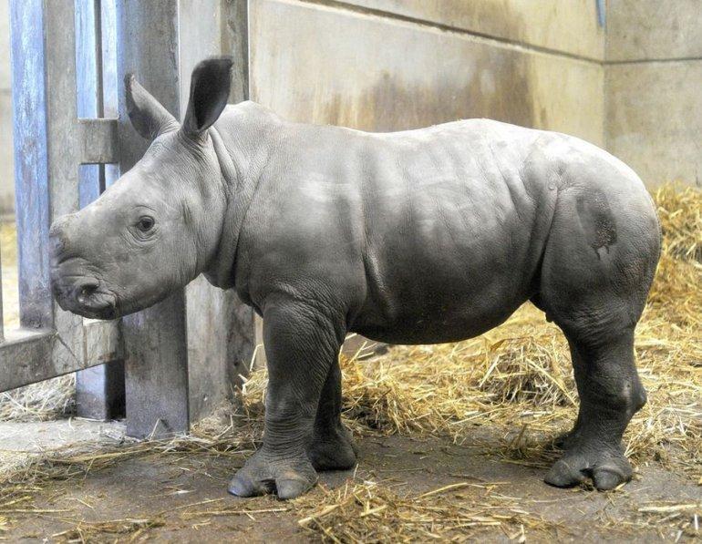 Красивые и прикольные картинки белого носорога - подборка 2