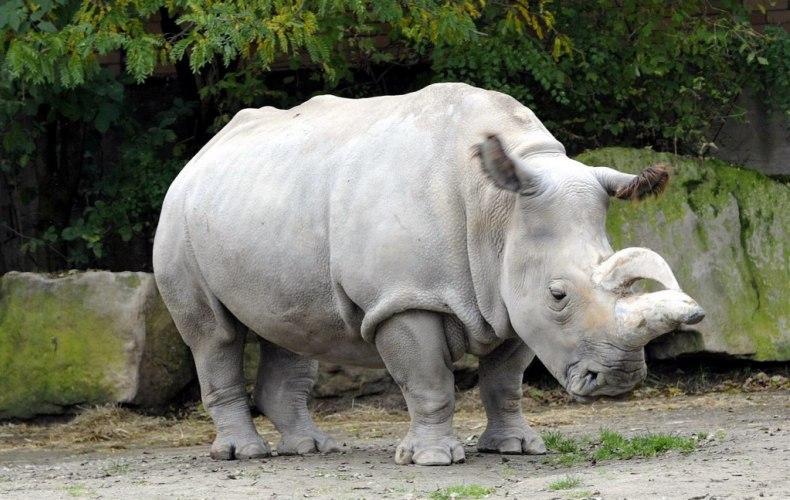 Красивые и прикольные картинки белого носорога - подборка 8