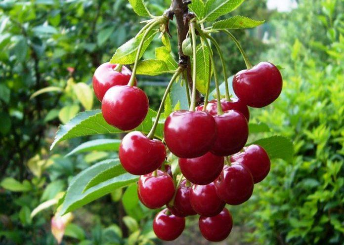 Красивые и прикольные картинки вишни - подборка изображений 8