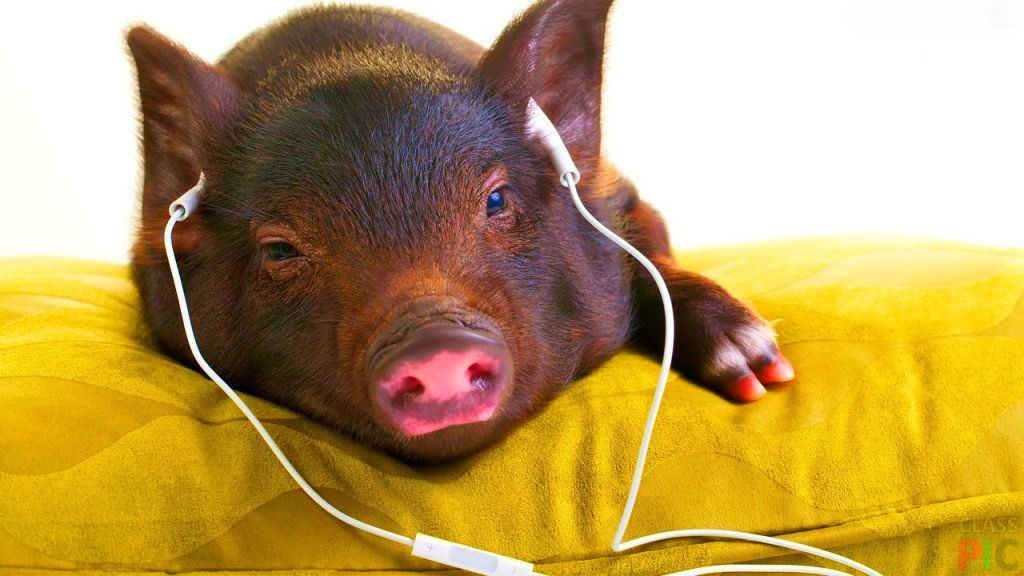 Интересные и прикольные картинки, фото свиньи на Новый год 2019 15