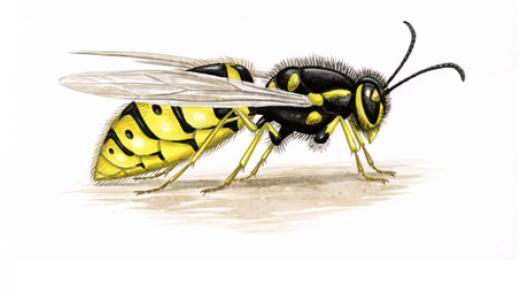 Красивые и прикольные картинки, рисунки осы для детей 10