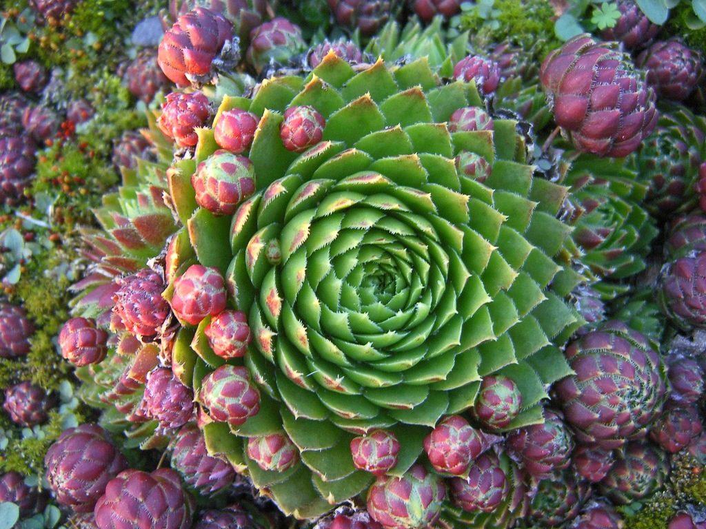 Красивые фото Каменной розы - подборка 20 картинок 10