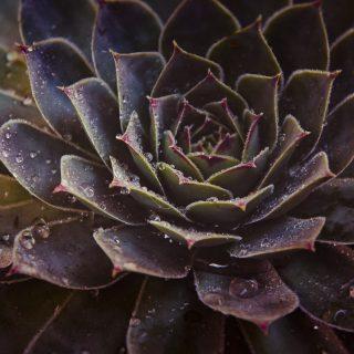 Красивые фото Каменной розы - подборка 20 картинок 11