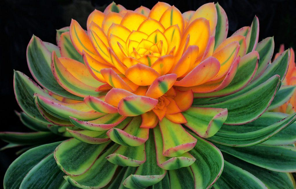 Красивые фото Каменной розы - подборка 20 картинок 19