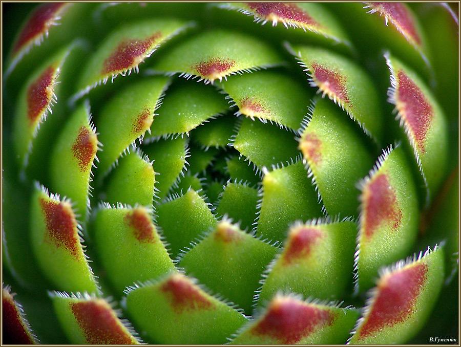 Красивые фото Каменной розы - подборка 20 картинок 20