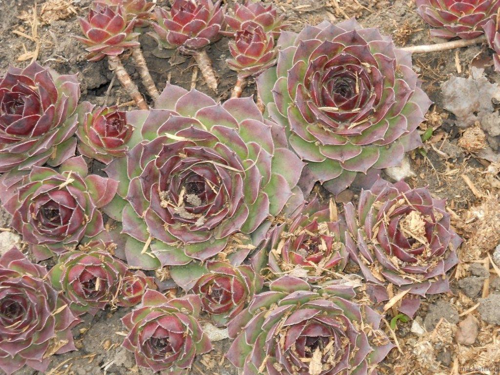 Красивые фото Каменной розы - подборка 20 картинок 5