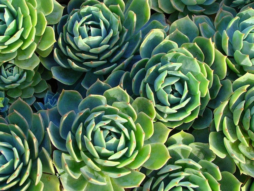 Красивые фото Каменной розы - подборка 20 картинок 6