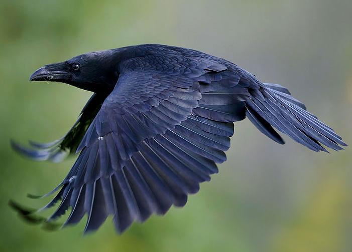 Классные и крутые картинки воронов, фото воронов - подборка 11