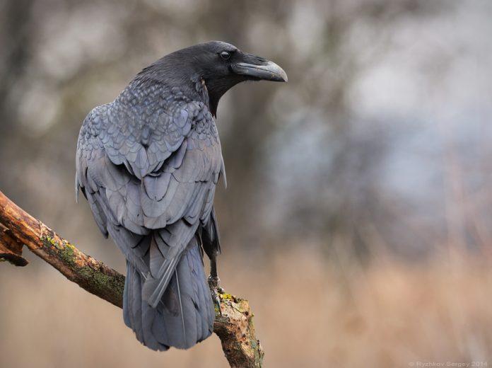 Классные и крутые картинки воронов, фото воронов - подборка 5