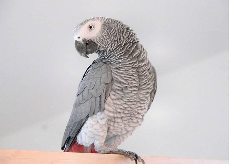 Красивые и прикольные фото, картинки попугая Жако - подборка 11