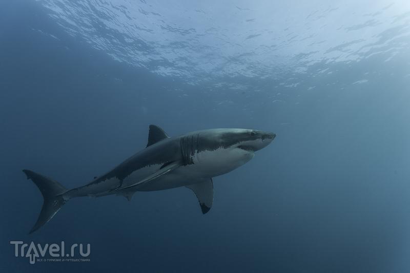 Красивые картинки и фото на тему - Большая белая акула 10