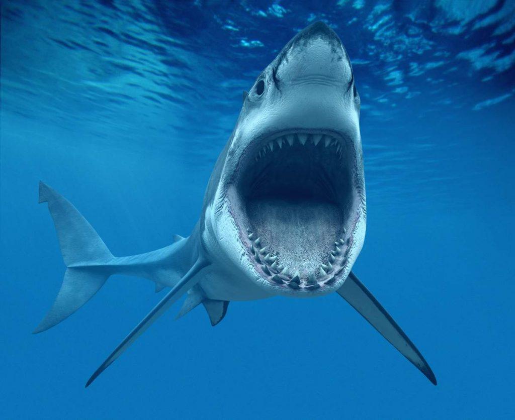 Красивые картинки и фото на тему - Большая белая акула 12