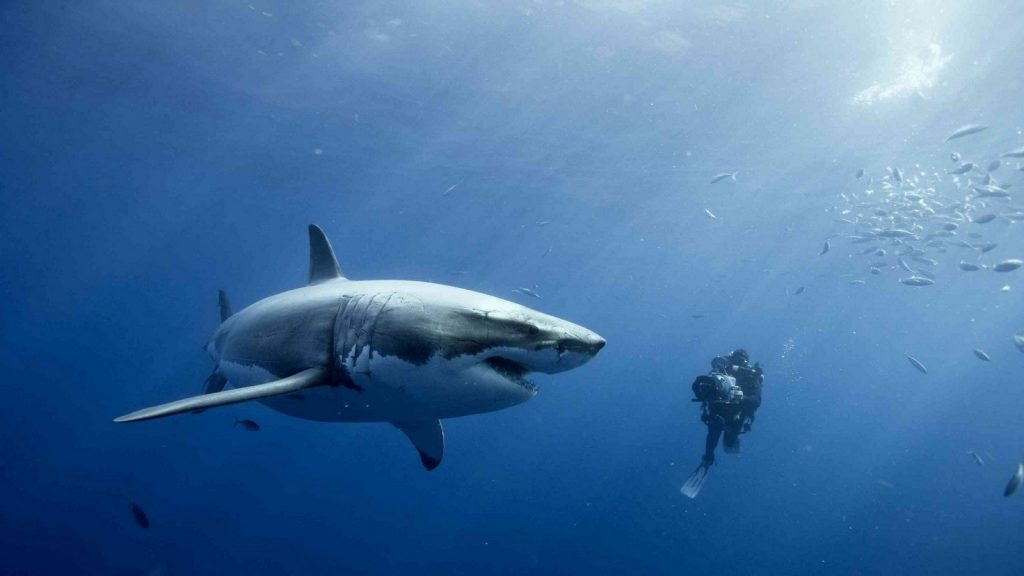 Красивые картинки и фото на тему - Большая белая акула 13