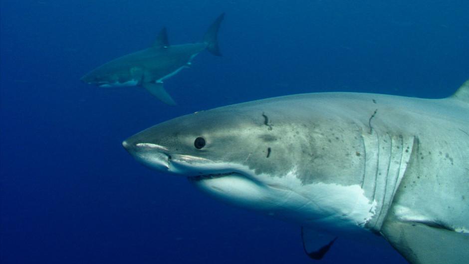 Красивые картинки и фото на тему - Большая белая акула 15