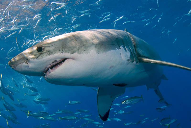 Красивые картинки и фото на тему - Большая белая акула 5