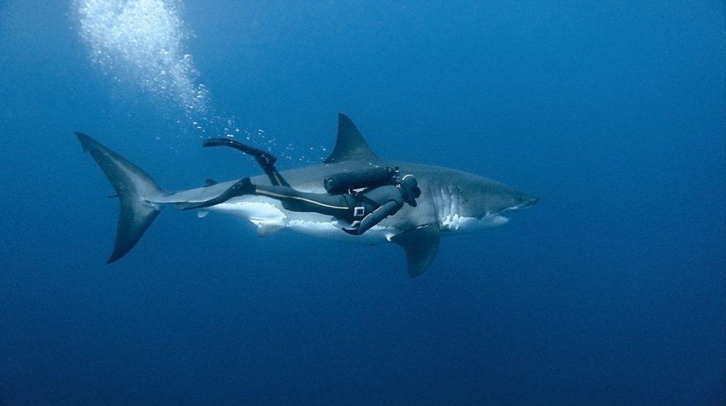 Красивые картинки и фото на тему - Большая белая акула 7