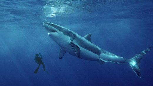 Красивые картинки и фото на тему - Большая белая акула 8