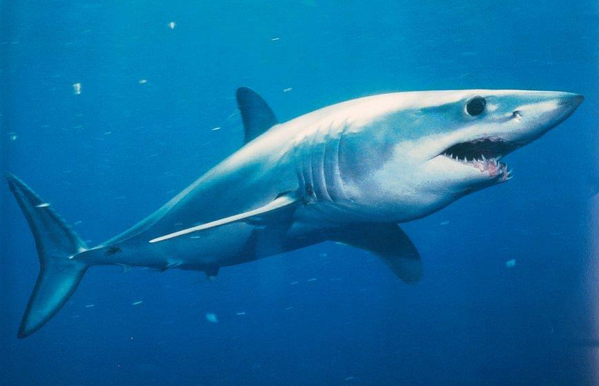 Красивые картинки и фото на тему - Большая белая акула 9
