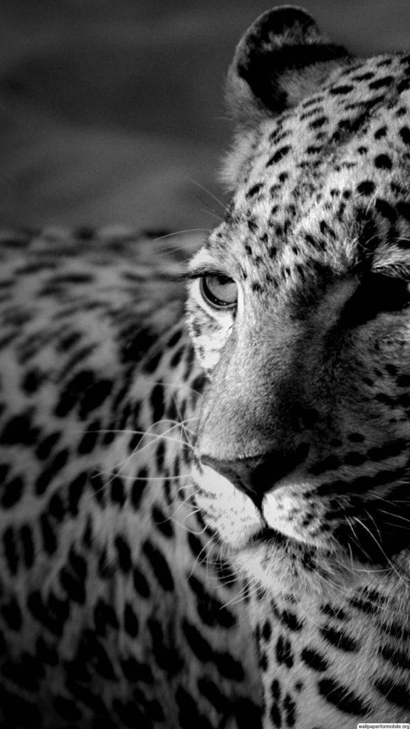 Лучшие картинки и обои на телефон Леопард - подборка 11