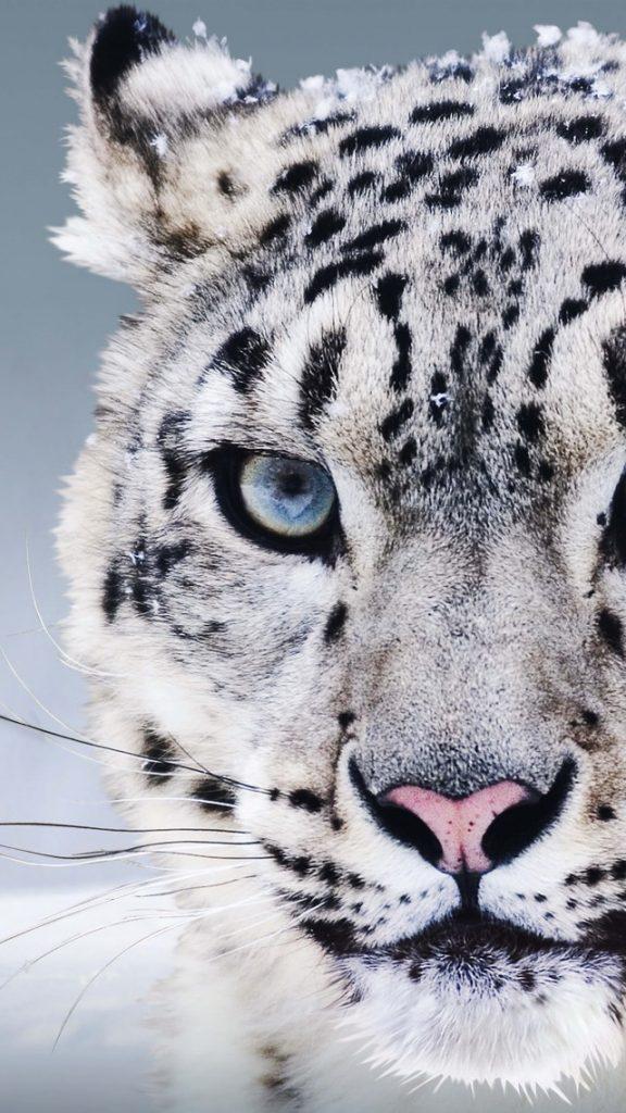 Лучшие картинки и обои на телефон Леопард - подборка 13