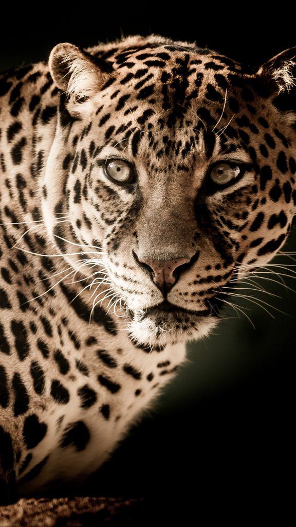 Лучшие картинки и обои на телефон Леопард - подборка 14