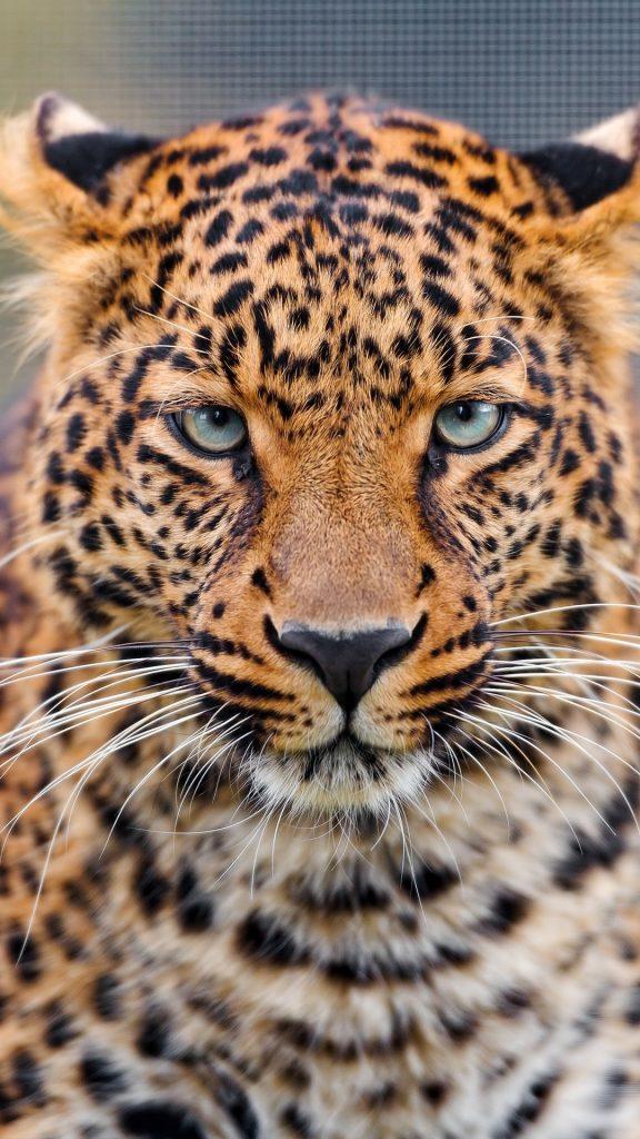 Лучшие картинки и обои на телефон Леопард - подборка 5