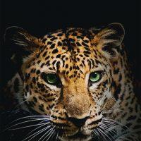 Лучшие картинки и обои на телефон Леопард - подборка 7