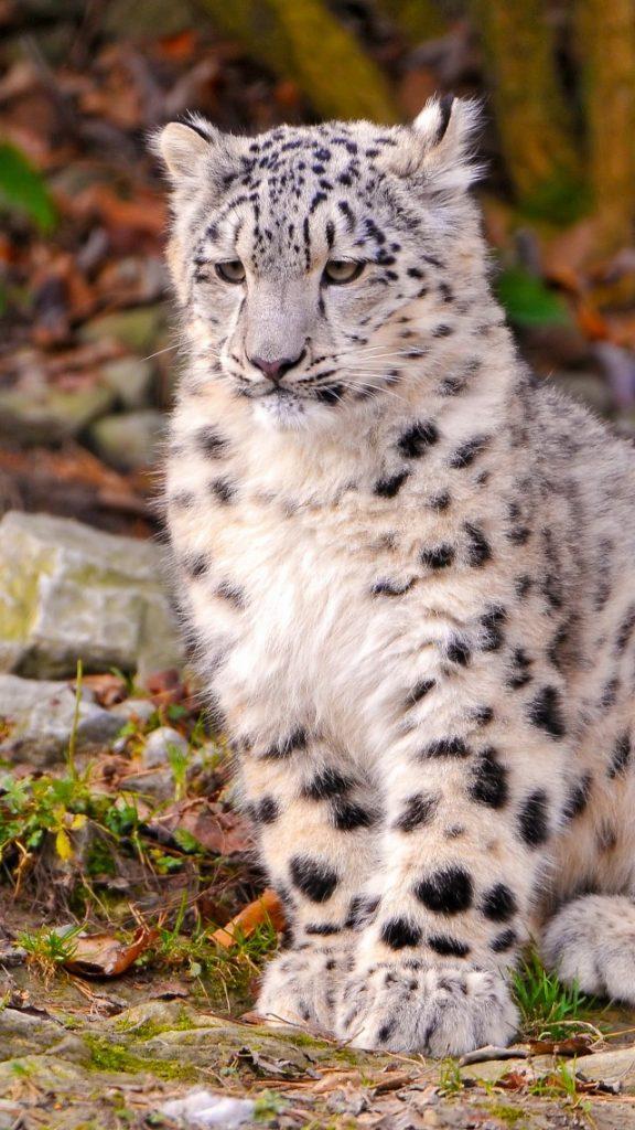 Лучшие картинки и обои на телефон Леопард - подборка 9