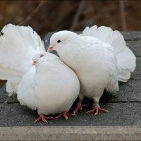 Как отличить голубя от голубки Эффективные способы и методы 1