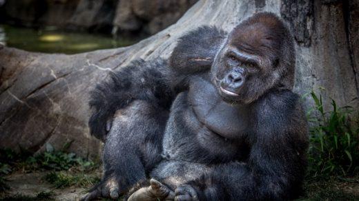 Красивые фото и картинки гориллы - подборка 16 фотографий 10