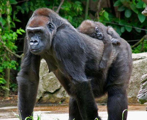 Красивые фото и картинки гориллы - подборка 16 фотографий 15