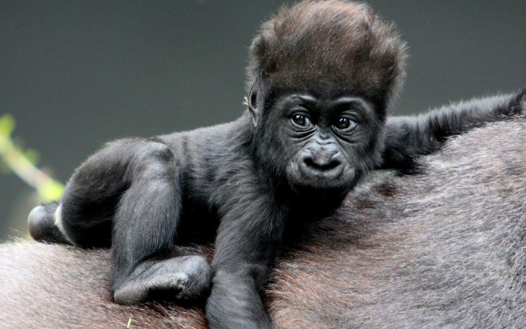 Красивые фото и картинки гориллы - подборка 16 фотографий 3