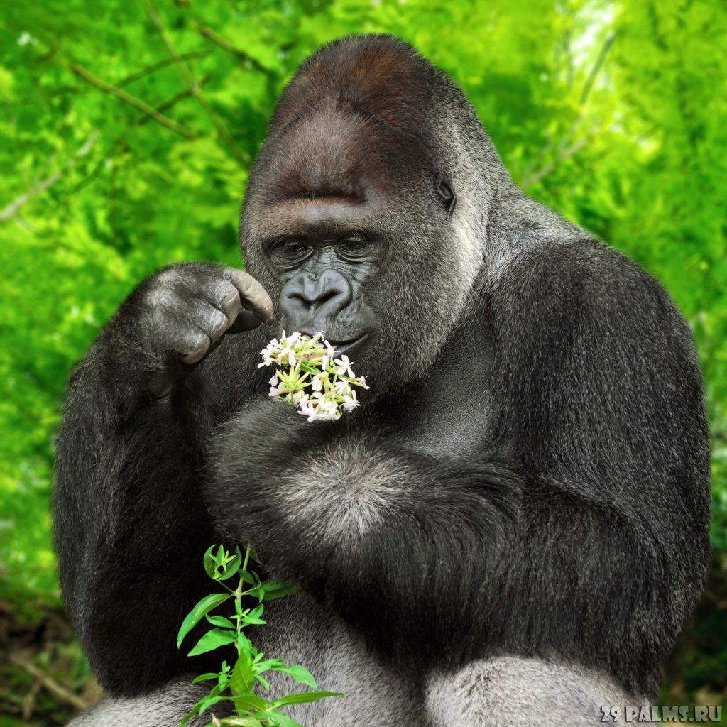 Красивые фото и картинки гориллы - подборка 16 фотографий 4