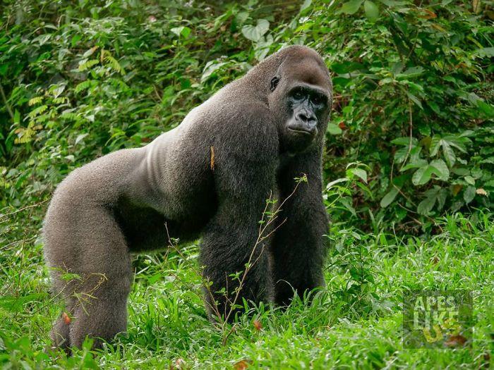 Красивые фото и картинки гориллы - подборка 16 фотографий 5
