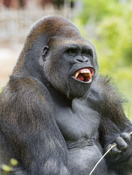 Красивые фото и картинки гориллы - подборка 16 фотографий 6