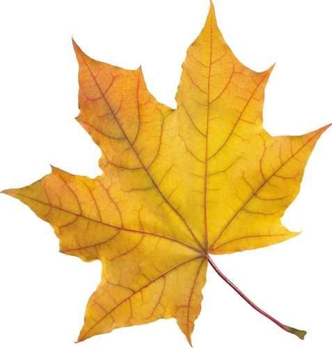 Шаблон кленовый лист, интересные рисунки шаблоны кленовый лист 5